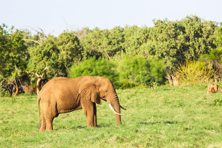 Elephants in  Kenya.