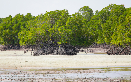 Mangrove. Mida creek. Watamu, Kenya. Stock Photo