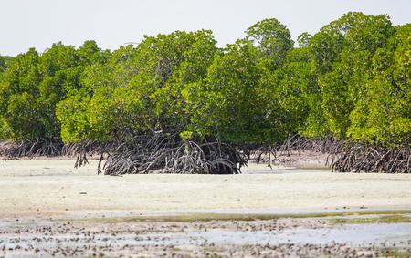 forestation: Mangrove. Mida creek. Watamu, Kenya. Stock Photo