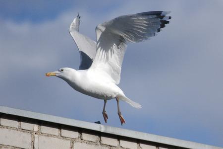 Herring gull flying hear roof Imagens