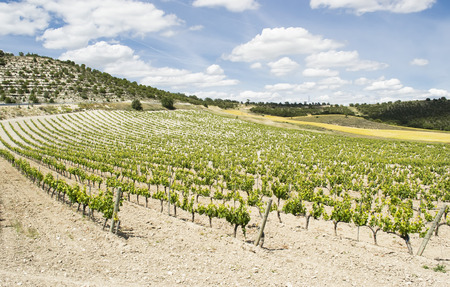 ows: ows of cultivated vine of a vineyard in arid, Mediterranean climate Stock Photo