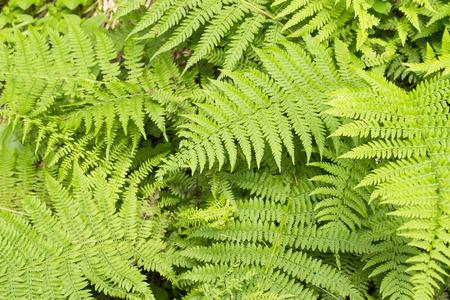 overlapped: Fern leaves , overlapped, of intense green color, background