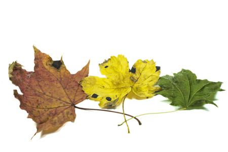 sear and yellow leaf: Three autumn leaves in different colors with intersecting petioles ,isolated on white