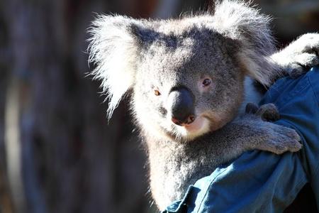 Koala in Australia  photo