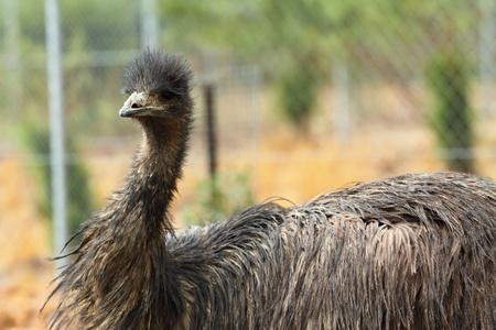 Portrait of an Emu in Australia photo