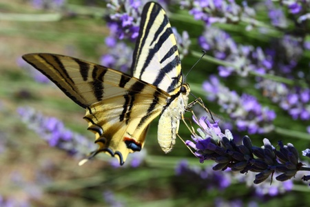 Beautiful Butterfly sitting on lavender plants  photo