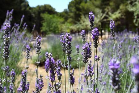 Lavender Plants photo