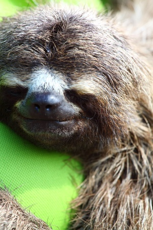 sloth: Close up view of Brown throated sloth sleeping, Costa Rica Stock Photo