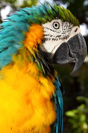 Close up portrait of blue and yellow macaw photo