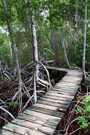 marsh plant: Boardwalk foresta di mangrovie Archivio Fotografico