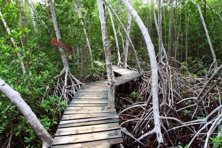 Mangrove forest Boardwalk  photo