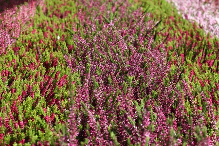 Blooming heather flowers on the green meadow photo