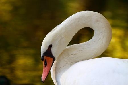 White swan Stock Photo - 11137742