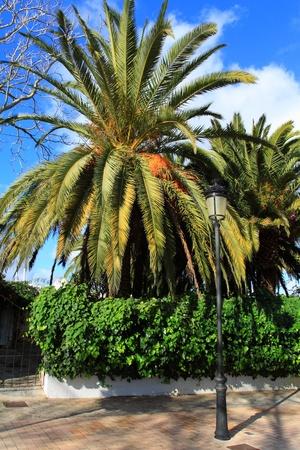 ibiza: Big Green Palm in Ibiza beach, Balearic Island, Spain