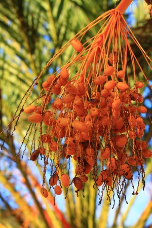 Tropical Palm Fruit over natural background photo