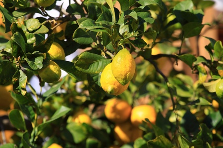 Lemons growing on lemon tree. Stock Photo - 11966983