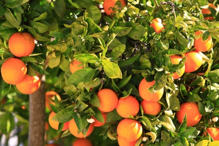 Orange tree over green tree in Ibiza. photo