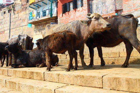 india cow: Sacred Cow in India Editorial