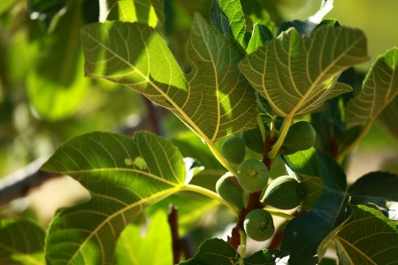Focus on a fig tree in spring photo