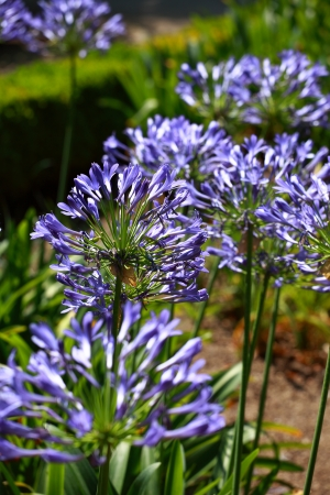 scilly: Blue flower of agapanthus africanus