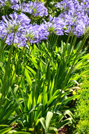Blue flower of agapanthus africanus photo
