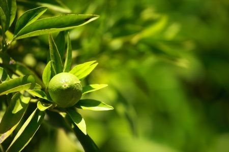 Lemon on a branch in a house garden and green background Stock Photo - 14701260