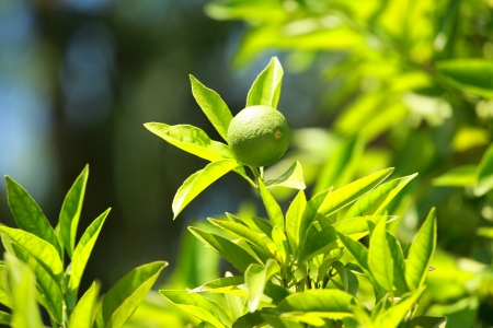 Lemon on a branch in a house garden and green background Stock Photo - 14701307