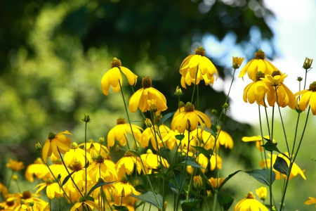 Rudbeckias black eyed susan flowers in garden photo