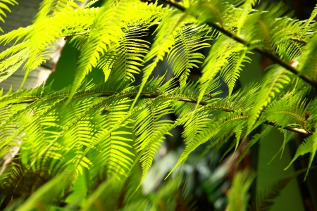 Fresh spring green fern leaves in forest  photo