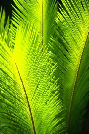 Green palm tree leaves in the wind.