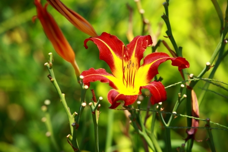 Orange Lily Blooming in a Sunny Garden photo