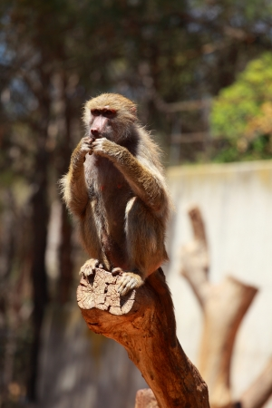 Macaque monkey portrait in Madrid zoo photo