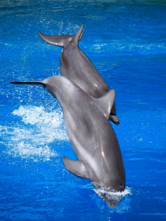 Dolphins playing in formation in the pool  photo
