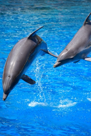 grampus: Dolphins playing in formation in the pool
