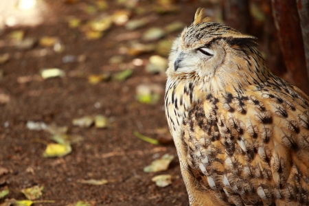 Portrait of a great horned Owl photo