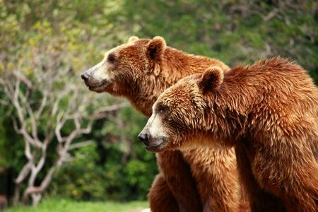 Bruine beer op zoek naar voedsel in Madrid Zoo Stockfoto