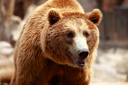 Brown bear looking for food in Madrid Zoo photo