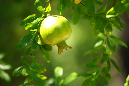 pommegranate: Pomegranate on the green tree