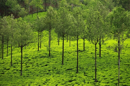 Landscape of green tea plantations. Munnar, Kerala, India photo