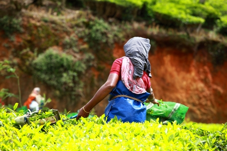 south india: Woman picking tea leaves in a tea plantation, Munnar is best known as Indias tea capital Stock Photo