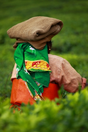 best known: Woman picking tea leaves in a tea plantation, Munnar is best known as Indias tea capital Stock Photo