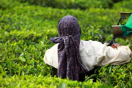 Woman picking tea leaves in a tea plantation, Munnar is best known as Indias tea capital photo