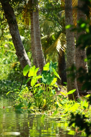 Palm tree tropical forest in backwater of Kochin, Kerala, India Stock Photo - 16149459