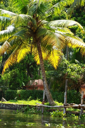 Palm tree tropical forest in backwater of Kochin, Kerala, India Stock Photo - 16149744
