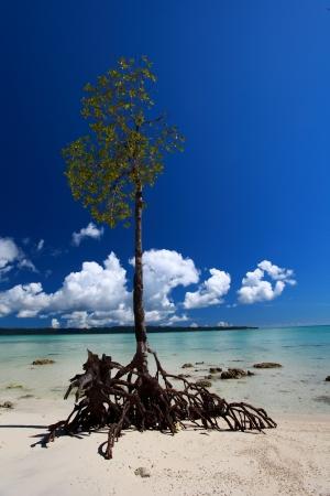 Lone mangrove tree at Vijaynagar Beach on Havelock Island, Andaman Islands, India.  photo