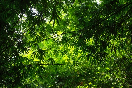 Bamboo green forest with morning sunlight. photo