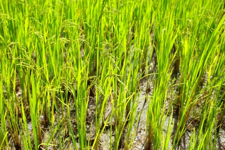 agriculturalist: Rice Paddys growing up in the organic farms of India Stock Photo