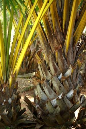 Yellow palm tree Stock Photo - 16150770