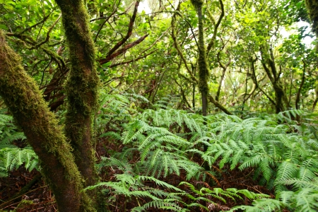 laurel mountain: Lush forest  in Macizo de Anaga, Tenerife, Spain.