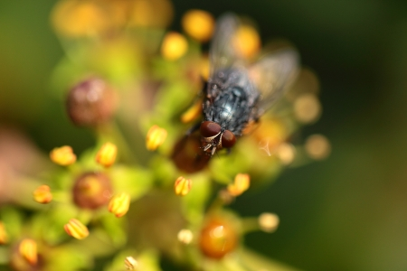 housefly: Housefly aka house fly over natural background, Musca domestica